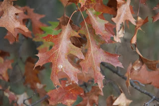 photo of northern red oak leaves