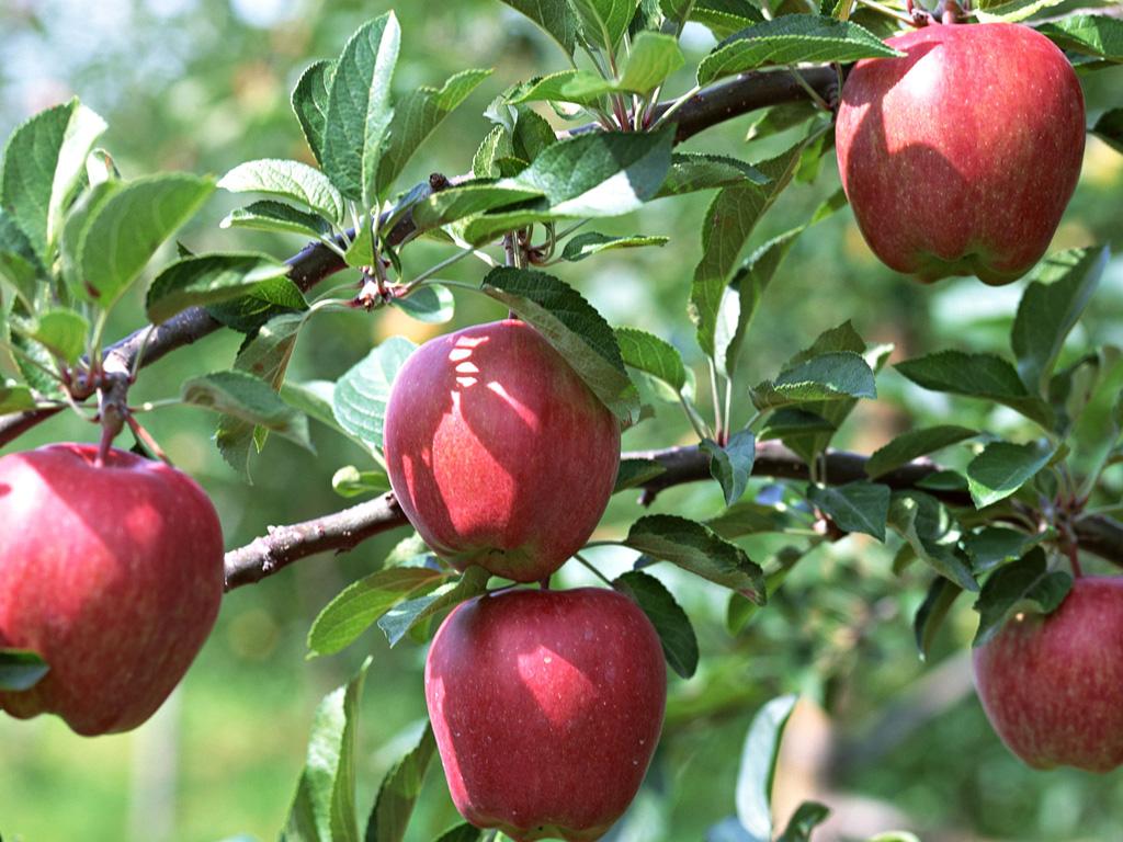 http://2.bp.blogspot.com/-01WSfgk_0Oo/UE_-HYPSwBI/AAAAAAAABDA/ZBuDlaagREk/s1600/fruit_apple_apple-tree_wallpaper_EA60142.jpg