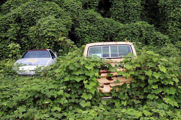 Kudzu covering pick-up truck (Credit: Roel Smart/Getty Images) Click to enlarge.