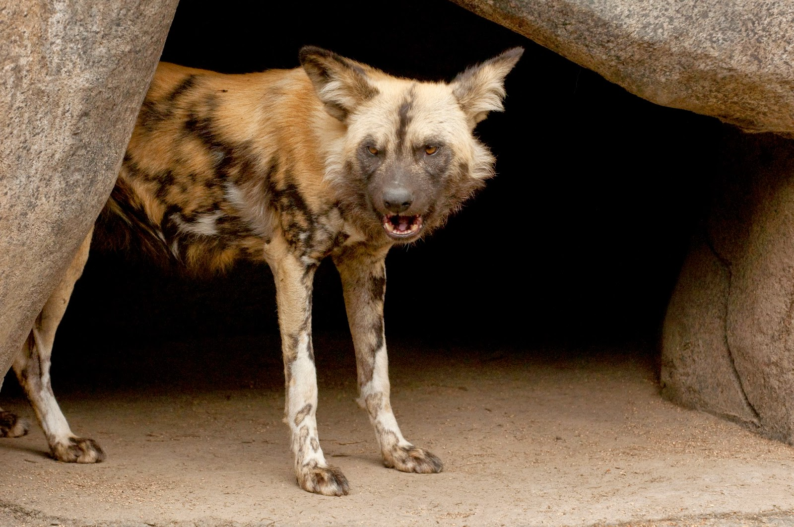 Cute Funny Animalz: African Wild Dog New Nice Pictures 2014