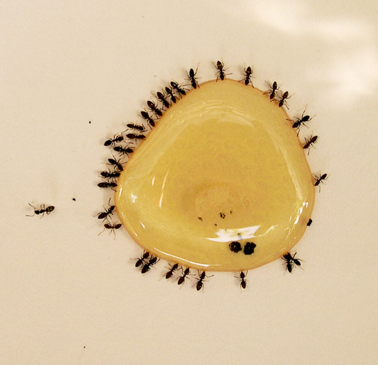 Little Black Ants In Kitchen Zitzat  Tiny Black Bugs In Bathroom And  Kitchen Sarkem net. Tiny Black Bug In Bathroom