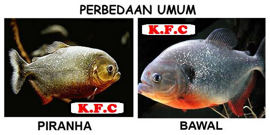 Ikan Bawal Vs Piranha