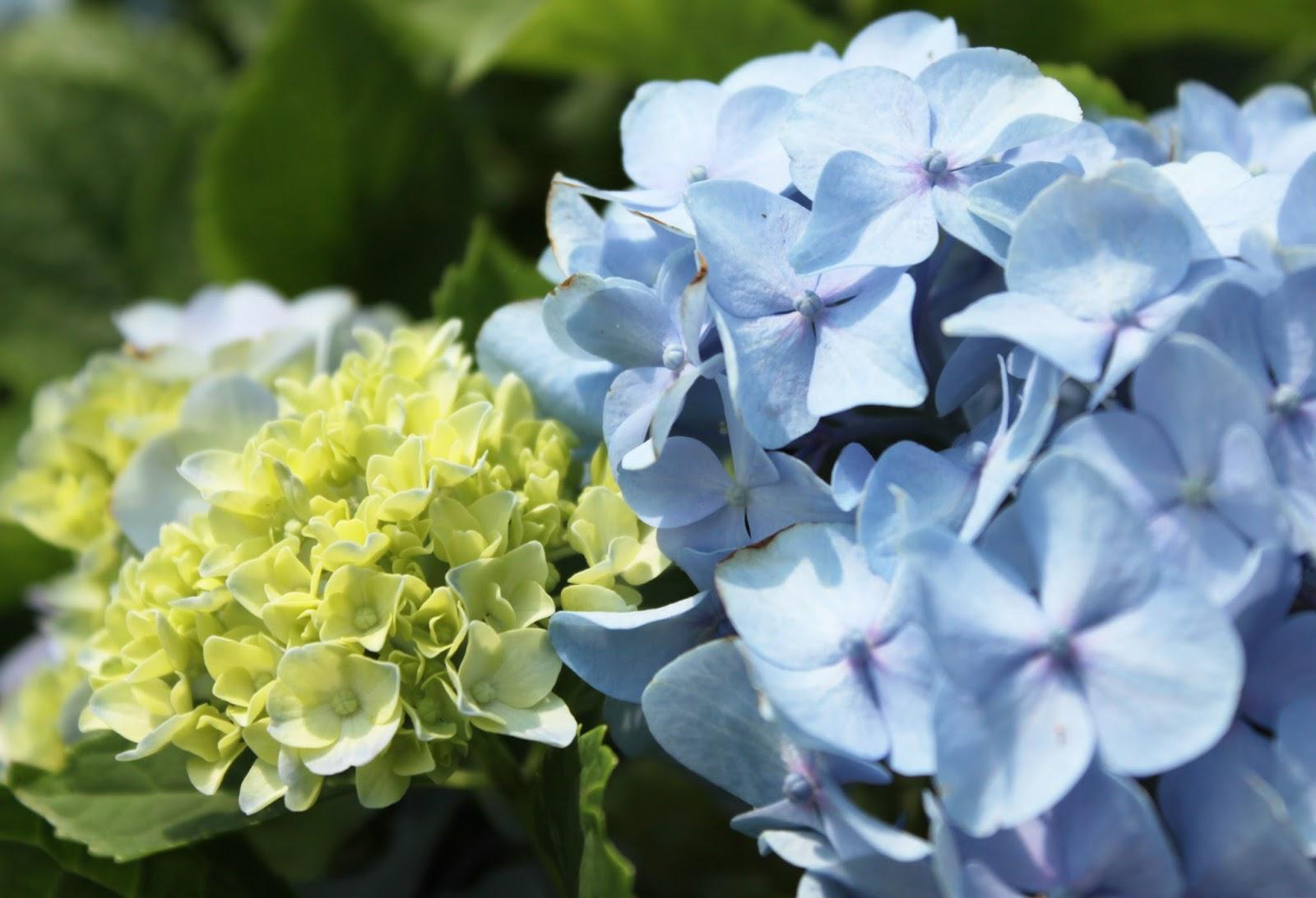 Hydrangeas A Calendar Of Bloom Times Strange S Florists