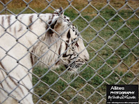 What is a White Tiger?