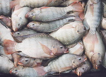 Agriorissa tilapia fish farming for Is tilapia fish good for you