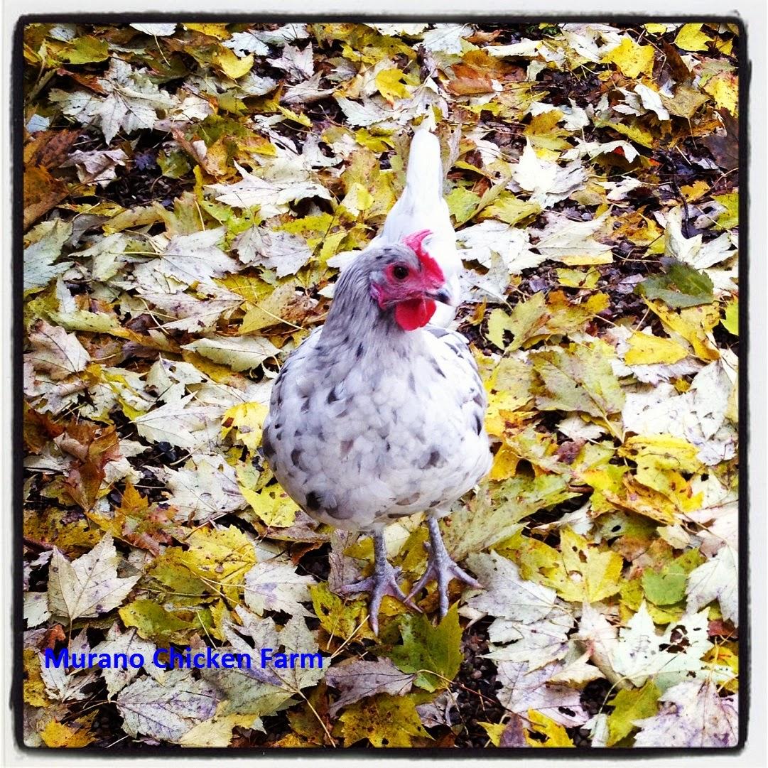 some of my favorite chicken moments murano chicken farm