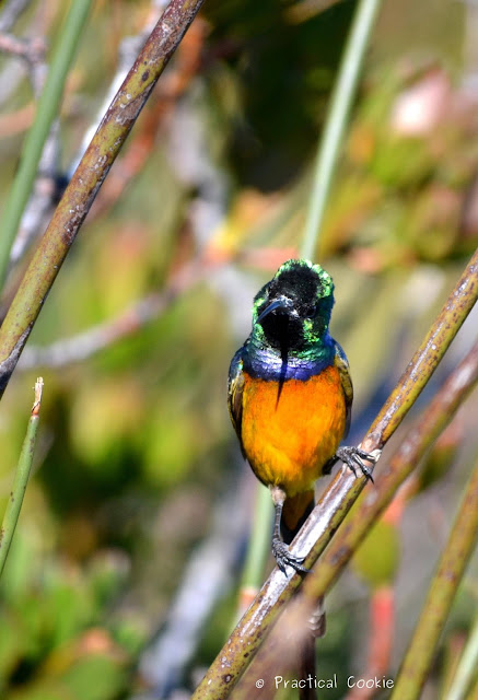 Quizzical orange breasted sunbird