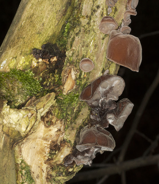 Jelly Ear, Auricularia auricula-judae. Lullingstone Country Park,  31 December 2011.