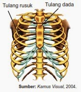 Tulang rusuk dan tulang dada