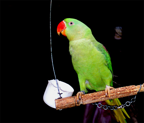 Q Significa Parrot Parrot attack and english