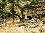 Bear in the Big Burro Mtns.