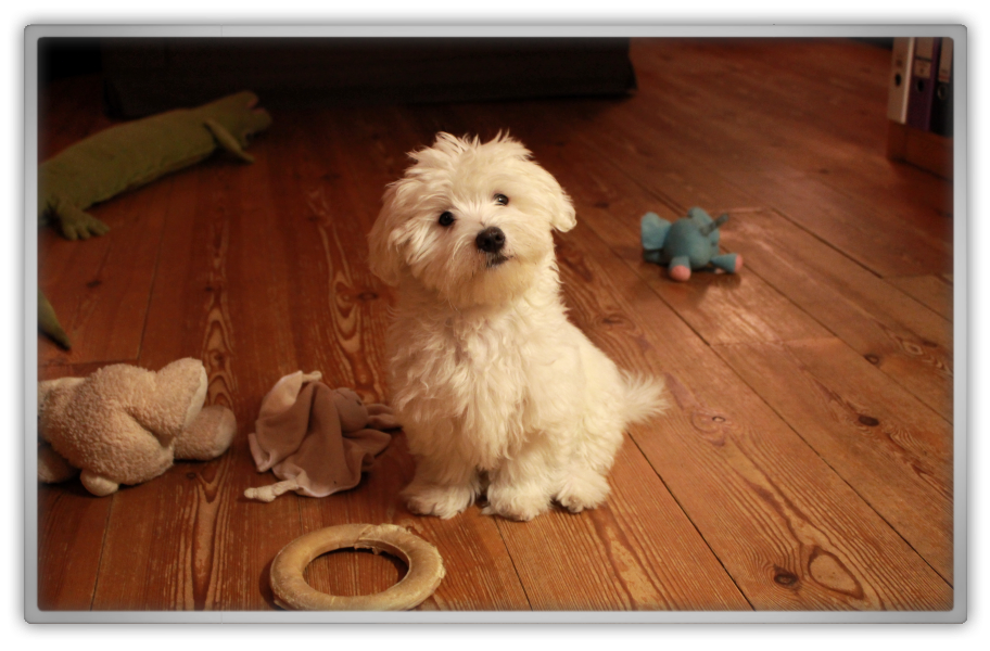 jofee jonathan saccone joly maltese dog puppy 17 weeks old 4 months cute adorable marjolein kucmer tricks playing
