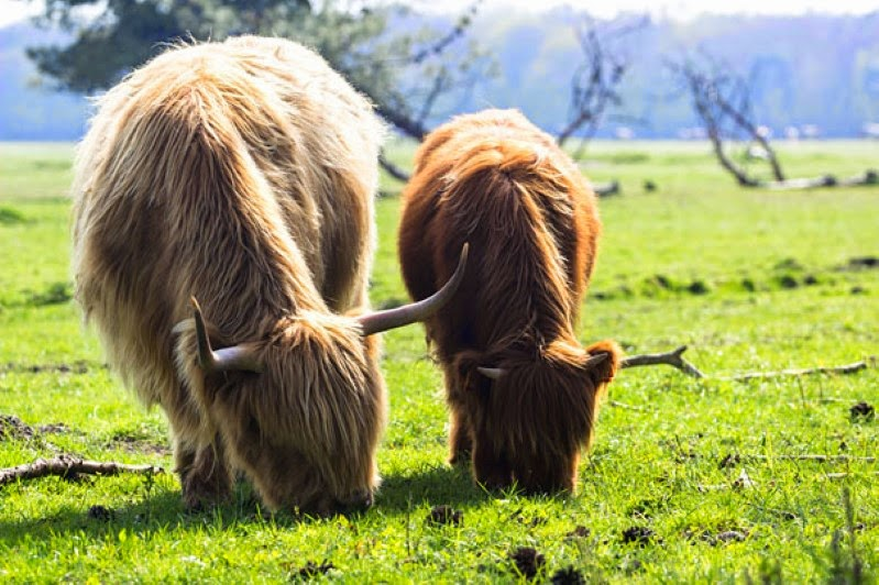 26. A highland calf grazing on grass next to his father. - 30 Animals With Their Adorable Mini-Me Counterparts