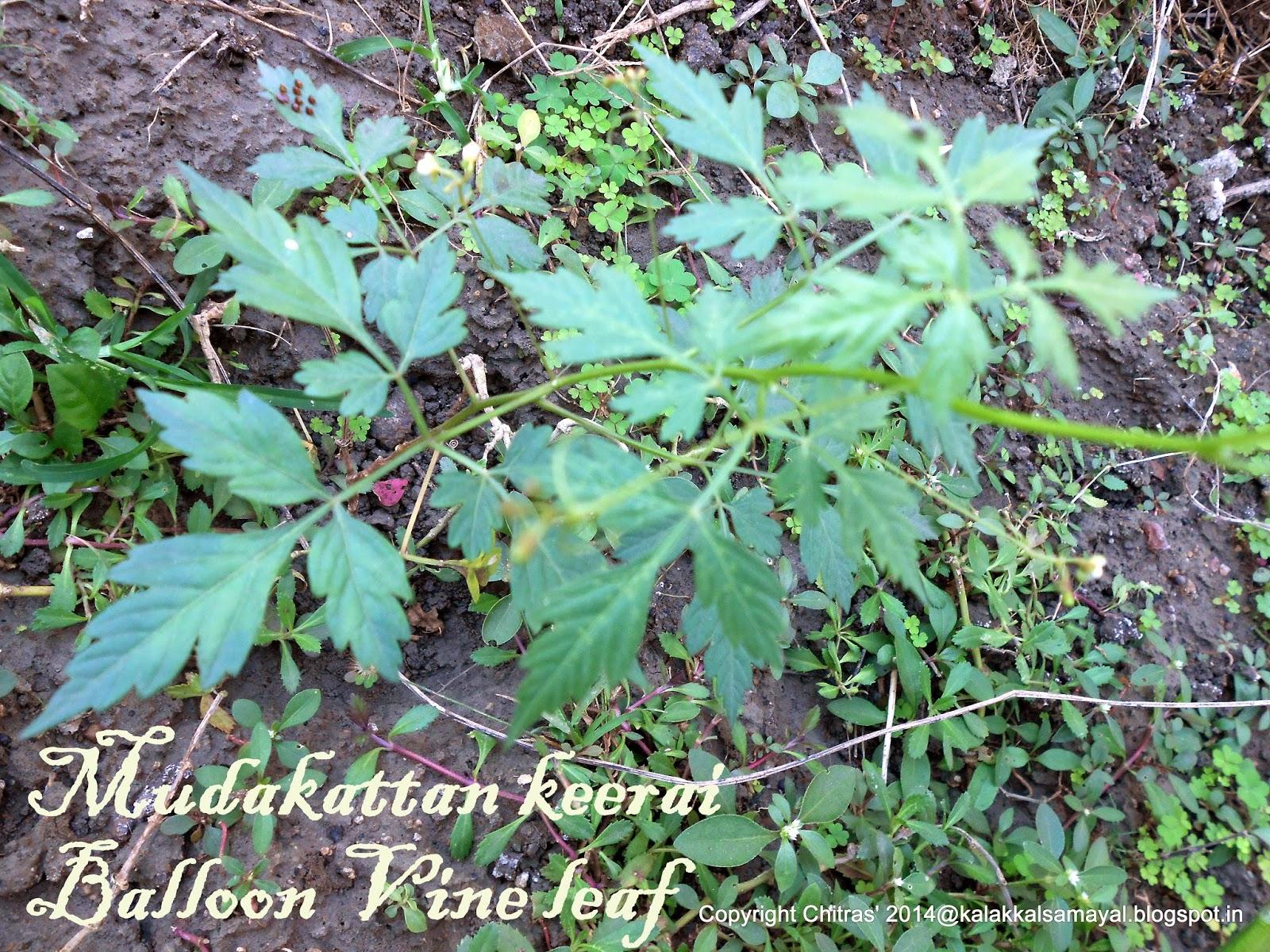 Mudakattan keerai [ Balloon vine leaf ]
