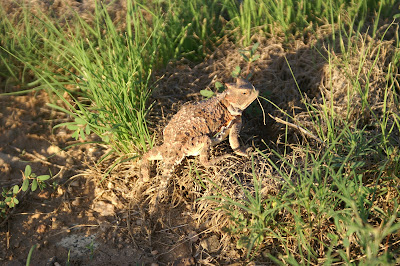 Horned Lizard/Horned Toad