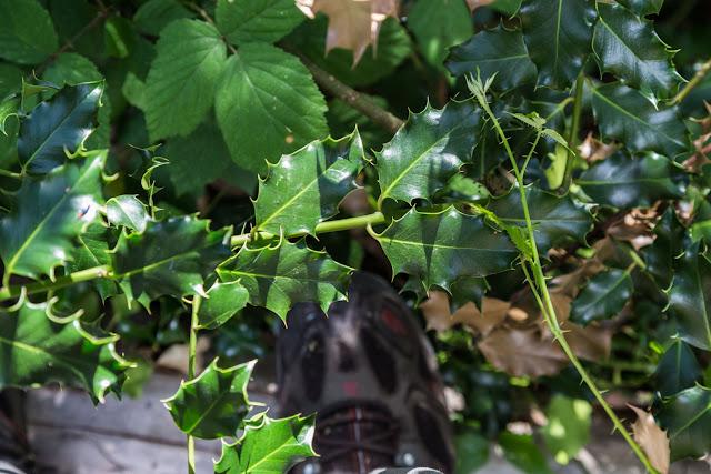 holly leaves yankee creek