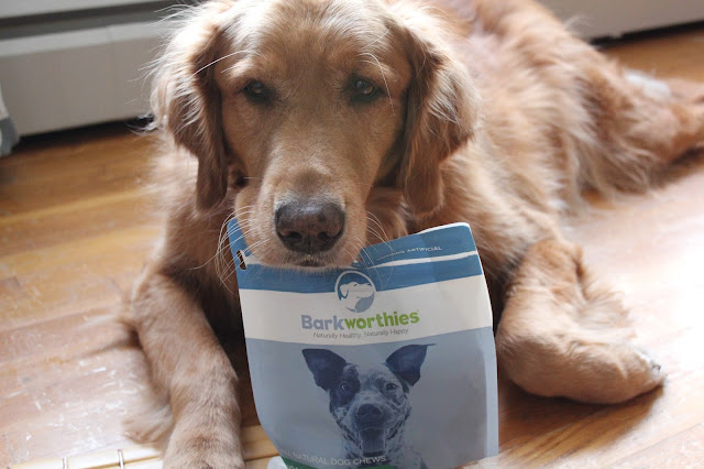 golden retriever dog enjoying Barkworthies treats review and giveaway