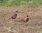 Our resident Pheasants..