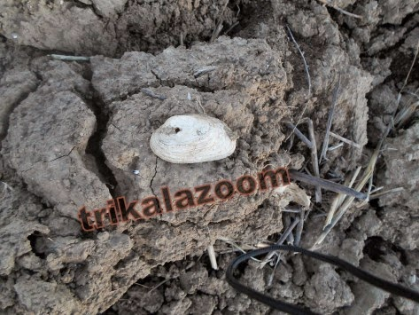 Βρέθηκε κοχύλι ηλικίας 780 εκατ. ετών στα Τρίκαλα! (ΦΩΤΟ-ΒΙΝΤΕΟ)