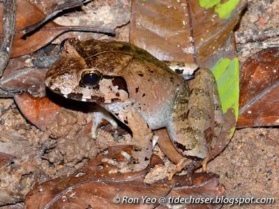 Malesian Frog (Limnonectes malesianus)
