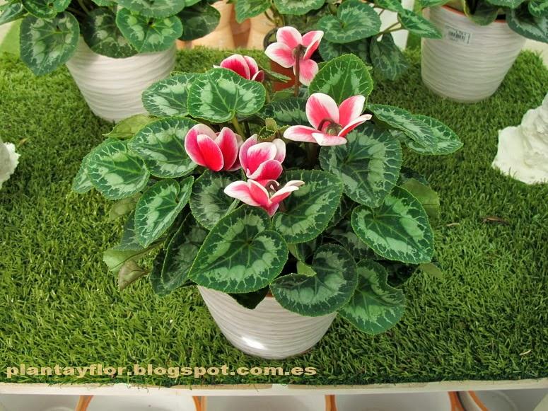 Plantas y flores cyclamen persicum - Flores de sombra ...