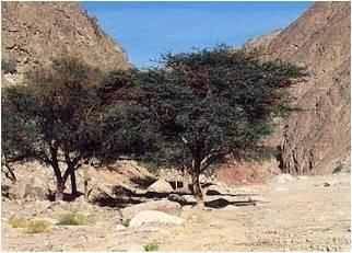 Pohon Yahudi Ghargad