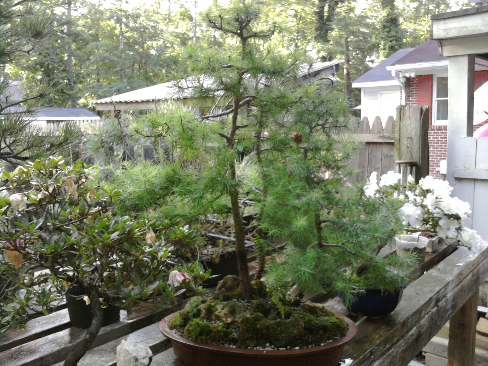 Yorktown Bonsai Maple Forest And Ponderosa