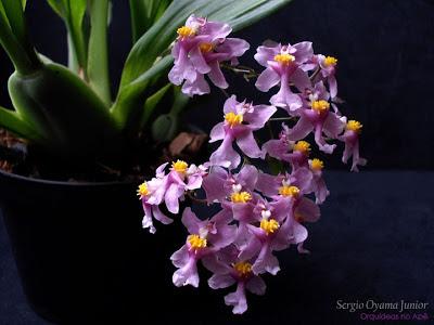 Flores da orquídea Oncidium ornithorhynchum