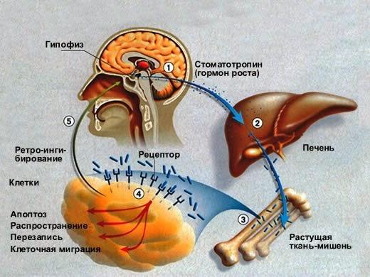 Гармоны для роста костей сустанон или енатнат