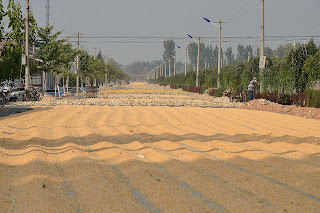 Corn drying in the sun on a street in Huairou district of Beijing