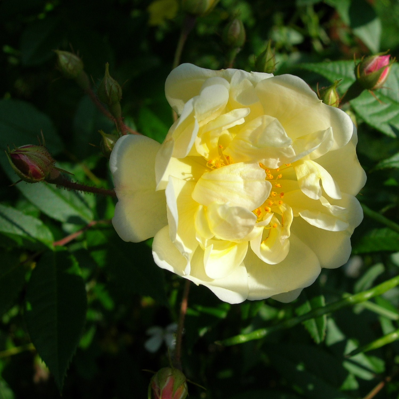 Visningsträdgården Hällans trädgårdsblogg: Honungsros