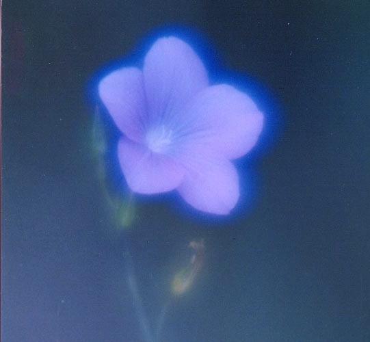 La Flor de Mis Sueños