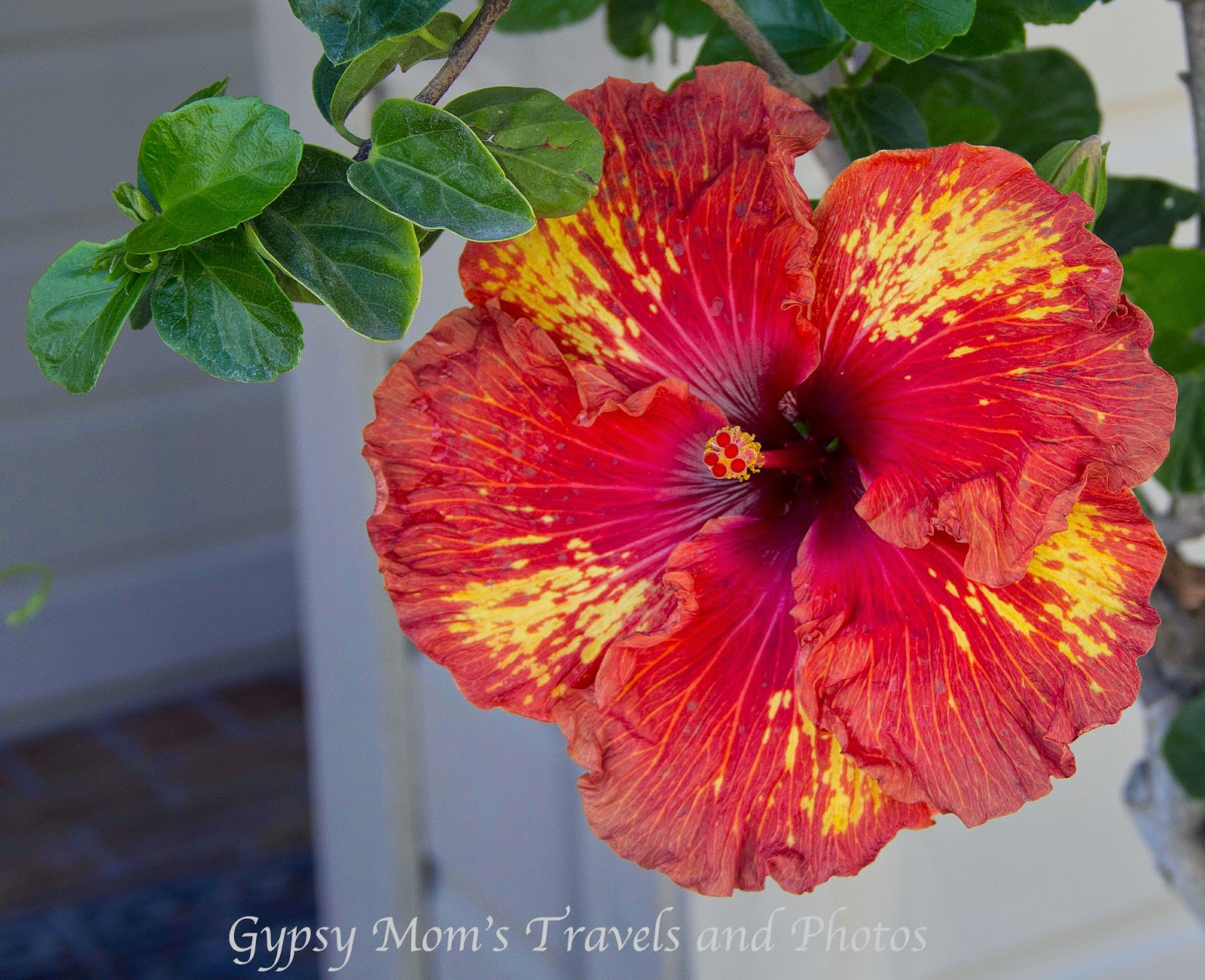 Hibiscus in front of house on Balboa Island