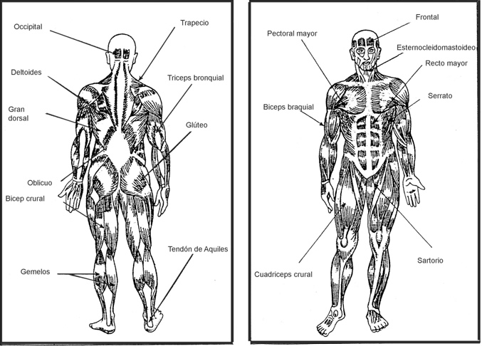 Sistema Muscular Para Ninos