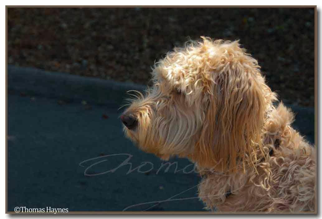 wet poodle doodle, straight from a swim in Melton Hill Lake