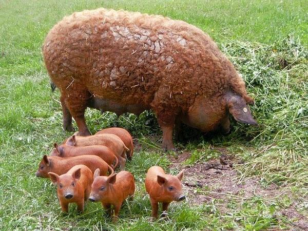 Mangalitsa With Piglets