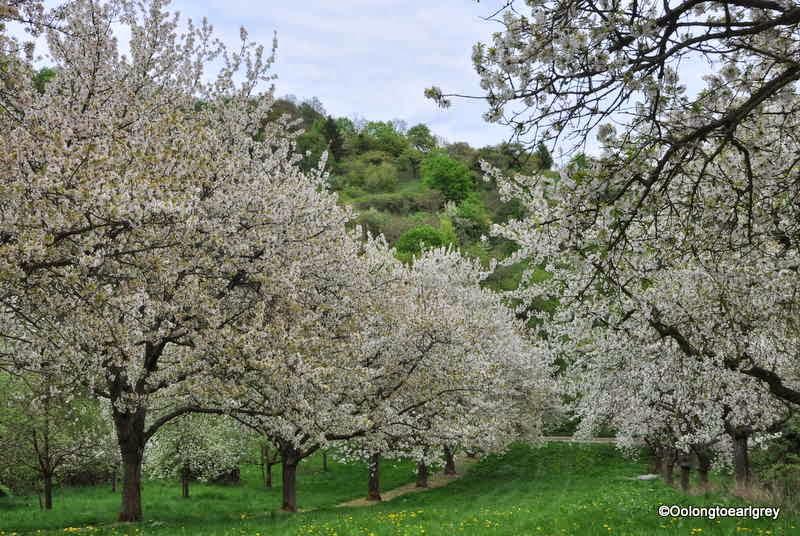 Cherry Blossoms in Frauenstein, Weisbaden