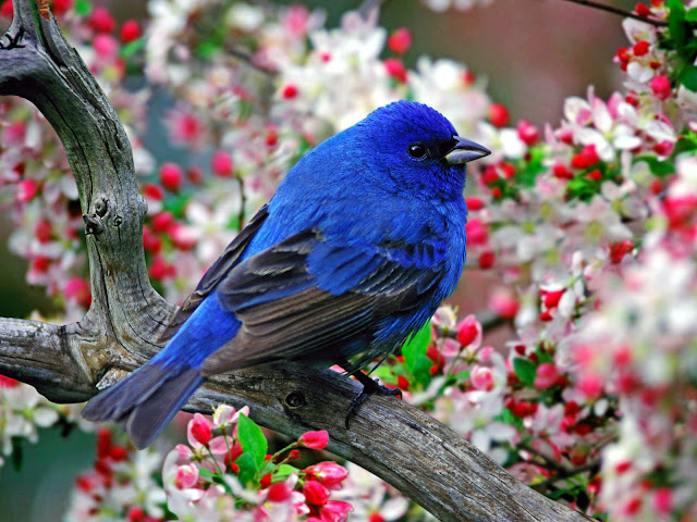 Nature Male Indigo bunting wallpaper