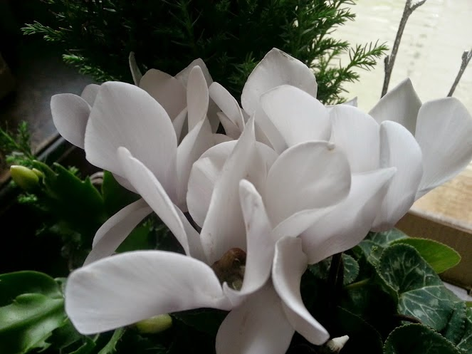 White Cyclamen close up in bloom