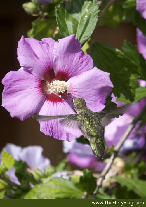 Hummingbird, Feeding, Hibiscus