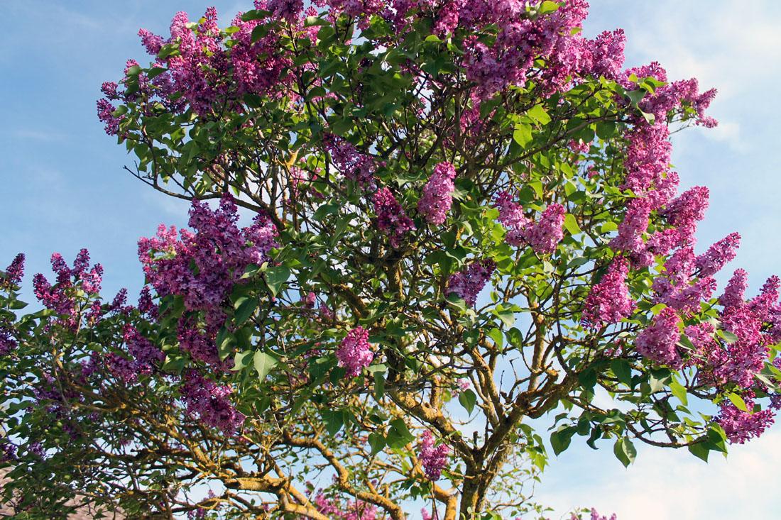Il nostro albero di lillà