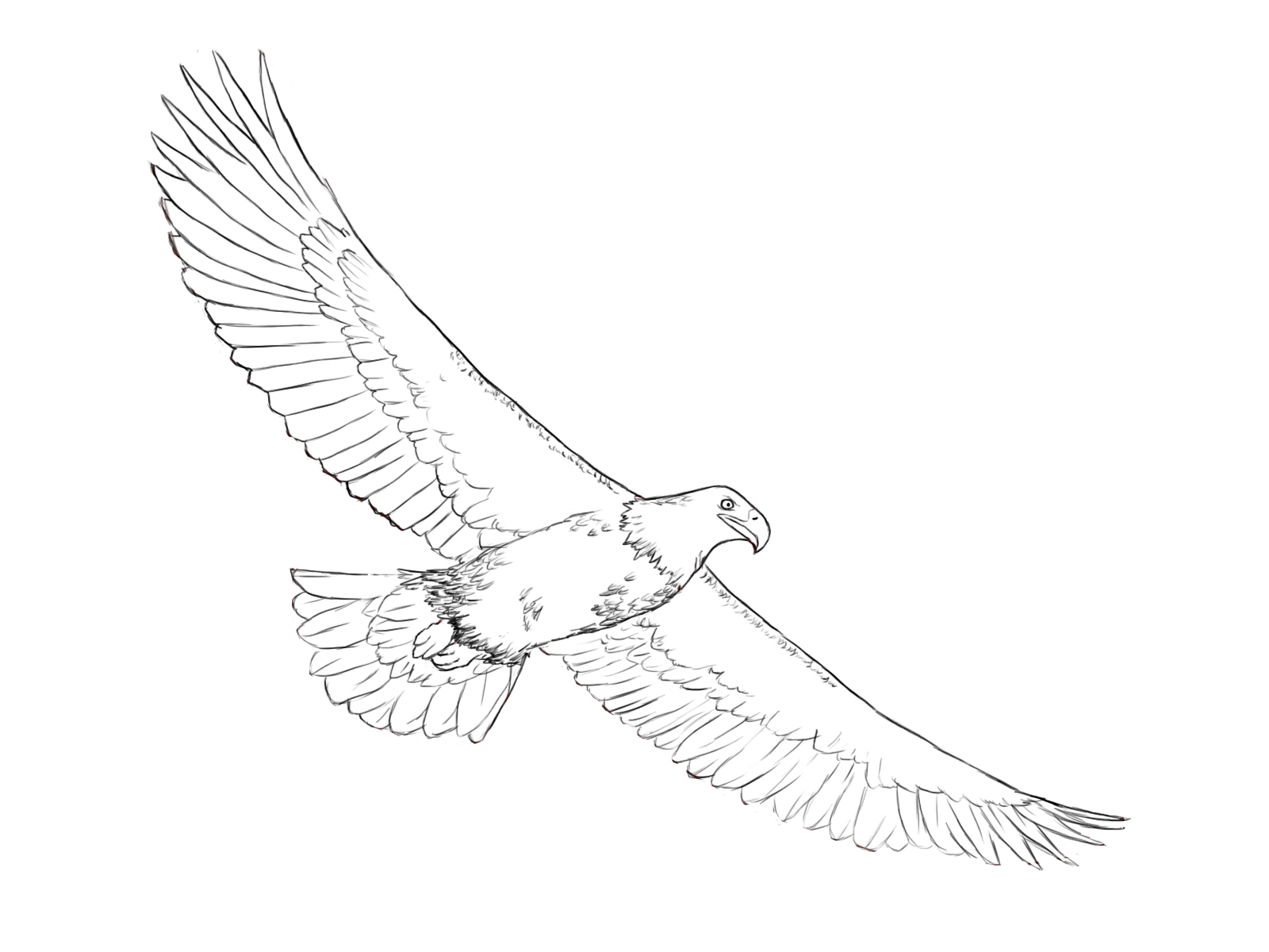 Line Drawing Eagle : How to draw an eagle central
