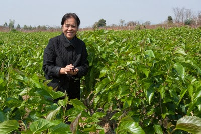 Once fallow land now flourishes with organically grown mulberry -- the heart of TAMMACHAT's Thai and Lao organic silk. Kommaly Chantavong, founder of Lao Sericulture Co., proudly stands amidst her carefully nurtured, organic mulberry bushes.