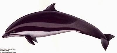 Delfin de Borneo