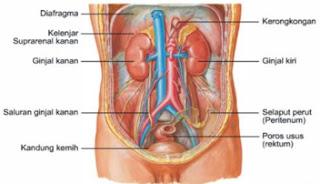 Anatomi Fisiologi Sistem Perkemihan
