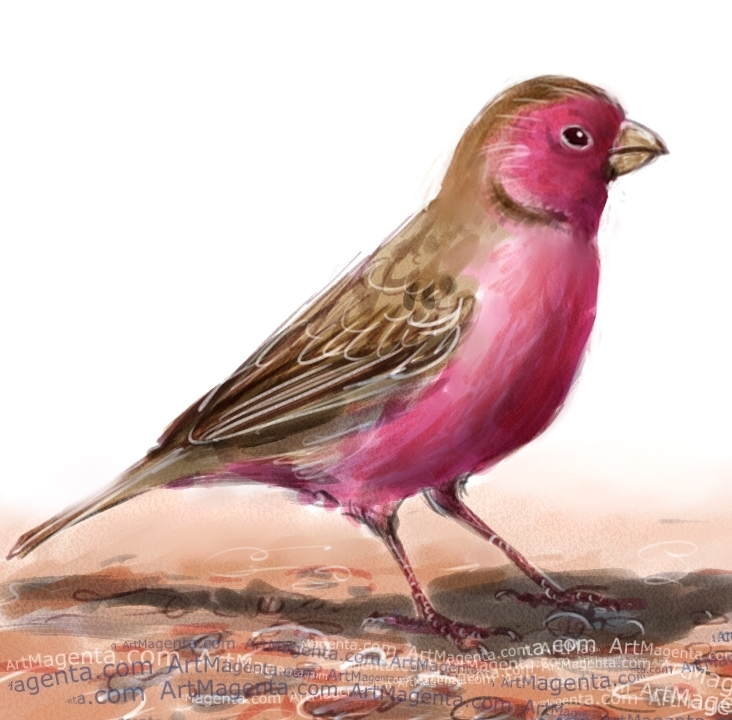 Sinai Rosefinch sketch painting. Bird art drawing by illustrator Artmagenta