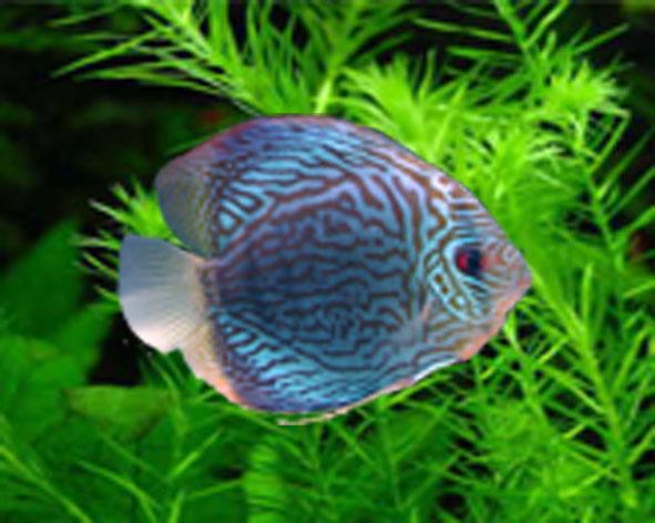 Ornamental fish varieties rainbow fish varieties 2017 for Ornamental fish