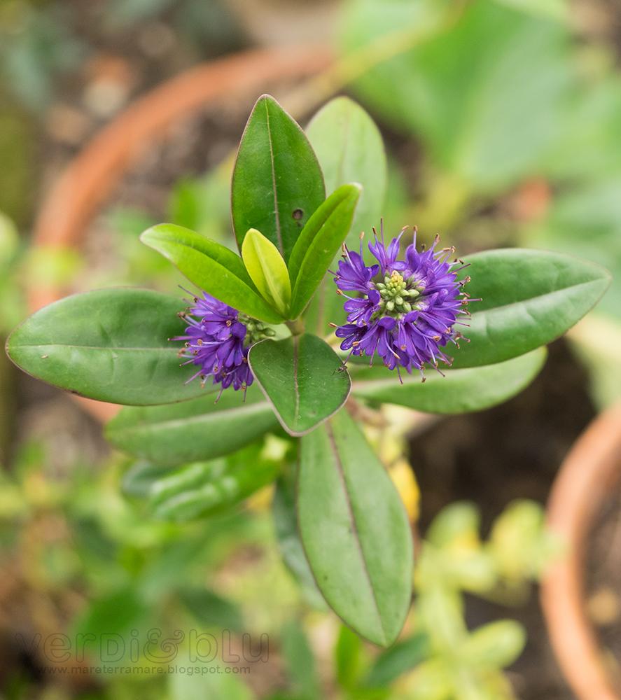 veronica variegata