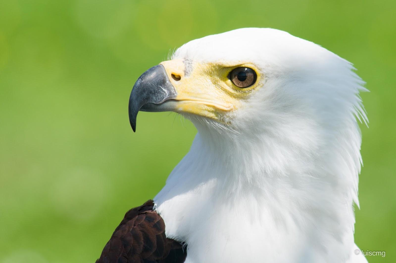 Pigargo africano vocinglero o águila pescadora (Haliaeetus vocifer)