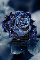 fotografii trandafir